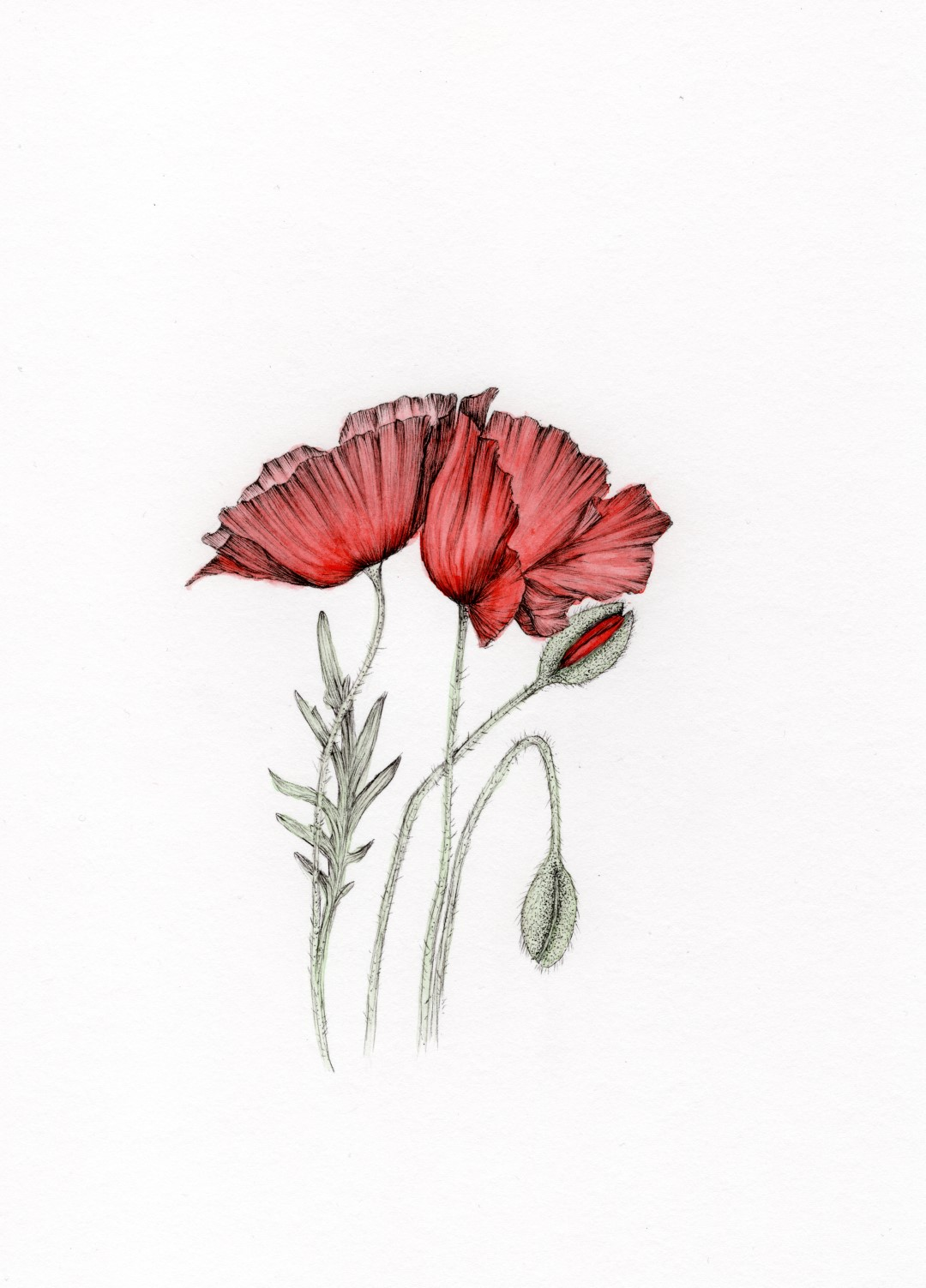 Corn Poppy 2400 (Groß)